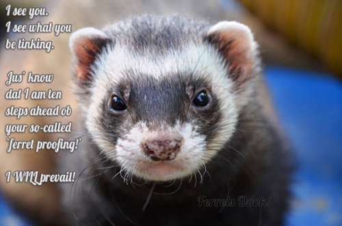 Ferret Proofing Your Home