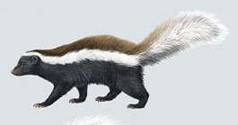 One of many color variations for stink badgers