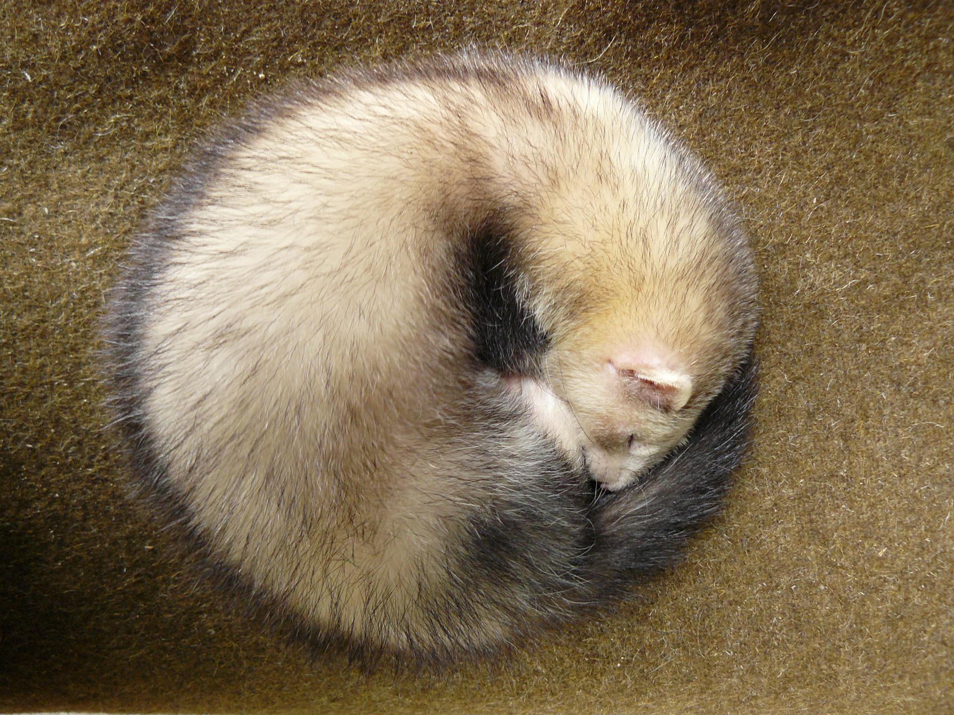 Ferret Circle